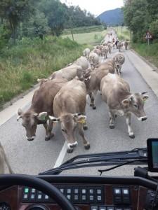 Kühe auf der Straße.