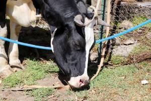 Milchkühe haben in Afrika einen sehr hohen wirtschaftlichen Nutzen.